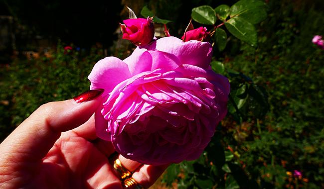 Thailand Lifestyle präsentiert: Queen Sirikit Botanic Garden. Hier: der Rosengarten.